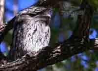 Frogmouth